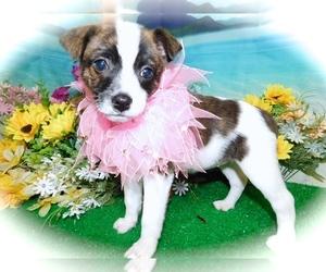 Jack-Rat Terrier-Rat Terrier Mix Puppy for Sale in HAMMOND, Indiana USA