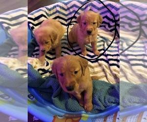 Golden Retriever Dog for Adoption in SAINT GEORGE, Kansas USA