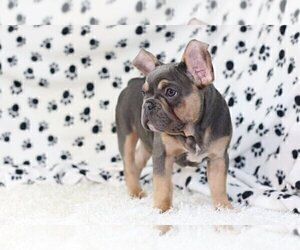 French Bulldog Puppy for sale in ALPHARETTA, GA, USA