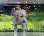 Small #4 Labrador Retriever-Sheepadoodle Mix