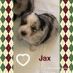Australian Shepherd Puppy For Sale in MECHANICSVILLE, VA, USA