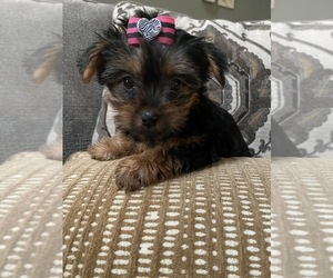 Yorkshire Terrier Puppy for sale in RICHMOND, IL, USA