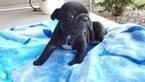 French Bulldog Puppy For Sale in FARMINGTON, MO, USA