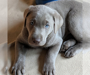 Labrador Retriever Puppy for Sale in PORT ANGELES, Washington USA