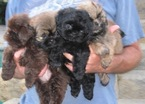 Shih Tzu Puppy For Sale in HOUSTON, TX, USA