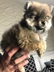 Pomeranian Puppy For Sale in BRICK, New Jersey,