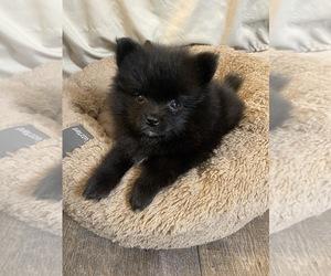 Pomeranian Puppy for sale in ANAHEIM, CA, USA