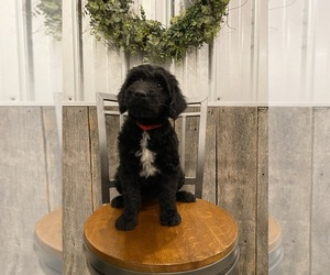 Goldendoodle Puppy for Sale in SURGOINSVILLE, Tennessee USA