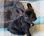 Small Photo #8 French Bulldog Puppy For Sale in CAPE CORAL, FL, USA