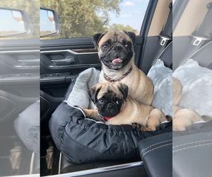 Pug Dog for Adoption in FAIRCHILDS, Texas USA