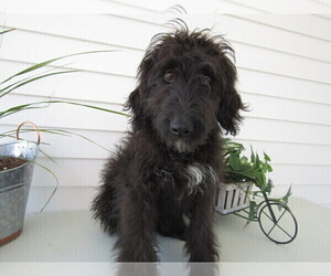 Bernedoodle Puppy for sale in ALPHA, MI, USA