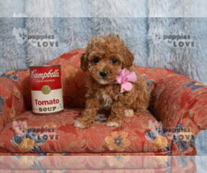 - Mix Puppy for sale in SANGER, TX, USA