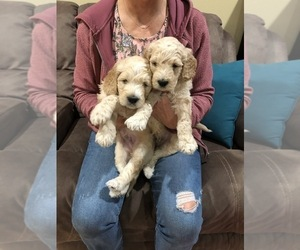 Goldendoodle Puppy for Sale in COEUR D ALENE, Idaho USA