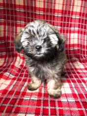 Poodle (Miniature) Dog for Adoption in HOUSTON, Texas USA