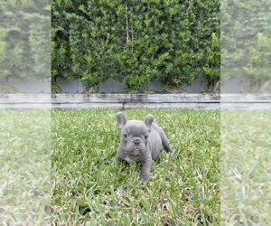 French Bulldog Puppy for Sale in KENDALL, Florida USA
