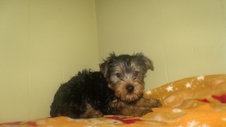 View Ad: Yorkshire Terrier Puppy for Sale, New Jersey, Paterson