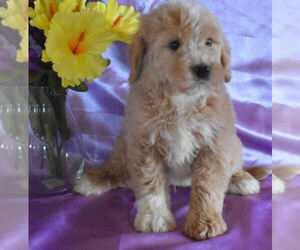 Goldendoodle Puppy for sale in MILLERSBURG, OH, USA