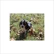 Beagle Puppy For Sale in TUCSON, AZ,