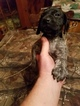 German Shorthaired Pointer Puppy For Sale in WILLIAMSPORT, Pennsylvania,