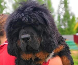 Tibetan Mastiff Dog for Adoption in Moscow, Moscow Russia