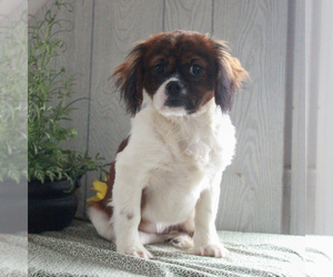 Cava-Tzu Puppy for sale in GORDONVILLE, PA, USA