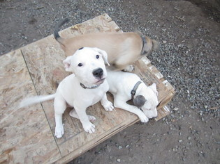 View Ad American Pit Bull Terrier Mix Puppy For Sale Colorado
