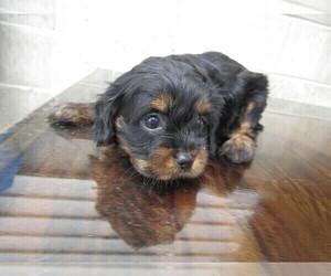 Cavapoo-Unknown Mix Puppy for sale in HUDSON, MI, USA