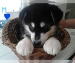 AKC MALE ALASKAN MALAMUTE BORN JUNE 6TH