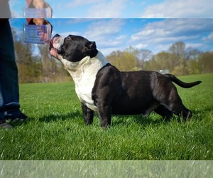 Father of the American Bully Mikelands  puppies born on 09/01/2020