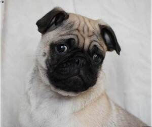 Pug Puppy for Sale in JACKSONVILLE, Florida USA