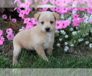 Poo-Shi Puppy for sale in SHILOH, OH, USA