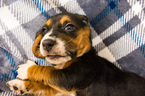 Basset Hound Puppy For Sale near 47567, Petersburg, IN, USA