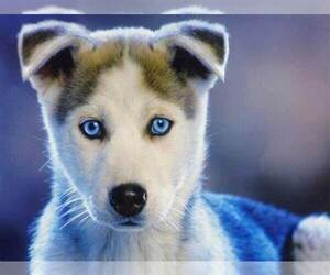 Siberian Husky Puppy for sale in LEXINGTON, KY, USA