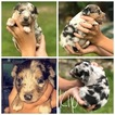 Miniature Australian Shepherd Puppy For Sale in PURVIS, MS, USA