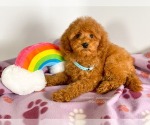Goldendoodle-Poodle (Toy) Mix Puppy for Sale in BREA, California USA