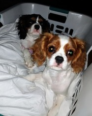 Cavalier King Charles Spaniel Puppy For Sale in CAMBRIDGE, MN, USA