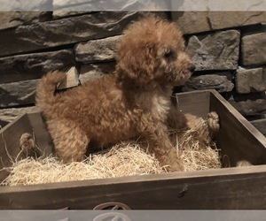 Goldendoodle Puppy for Sale in GOODLETTSVILLE, Tennessee USA