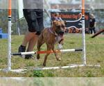 Small #196 American Pit Bull Terrier