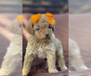 Poodle (Toy) Puppy for Sale in PORTERVILLE, California USA