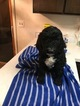 Poodle (Standard) Puppy For Sale in GREELEY, CO,