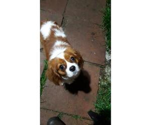 Mother of the Cavalier King Charles Spaniel puppies born on 12/30/2018
