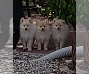 Pomeranian Puppy for sale in POLK CITY, FL, USA