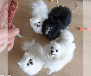 Pomeranian-Unknown Mix Puppy for sale in Edmonton, Alberta, Canada