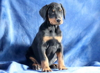 Doberman Pinscher Puppy For Sale in MOUNT JOY, PA,
