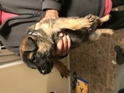 German Shepherd Dog Puppy For Sale in MIDLAND, TX, USA