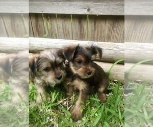 Yorkshire Terrier Puppy for sale in AUSTIN, TX, USA