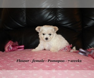 Pomeranian-Poodle (Toy) Mix Dog for Adoption in CLARKRANGE, Tennessee USA