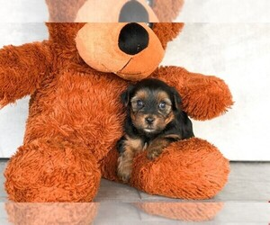 Yorkshire Terrier Puppy for sale in AMITY, NC, USA