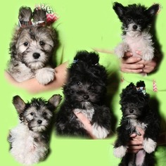Chinese Crested Puppy for sale in COVINGTON, IN, USA