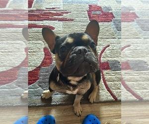 French Bulldog Puppy for sale in WICHITA, KS, USA